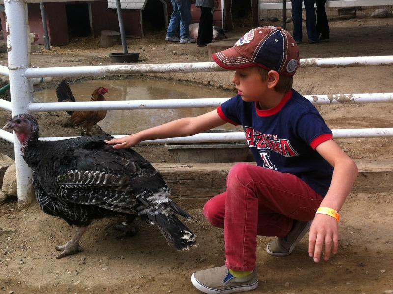 turkey, gentle barn, petting